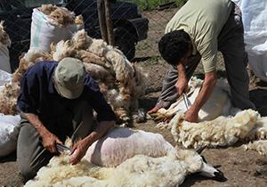 پشم دام عشایر خراسان جنوبی در اختیار تعاونیها قرار میگیرد